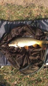 Common Carp — Boris Boucher