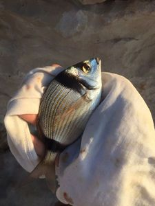 Common Two-Banded Seabream — Florian A