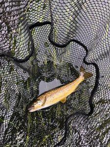 Atlantic Salmon (Juvenile) — Yannick Riviere