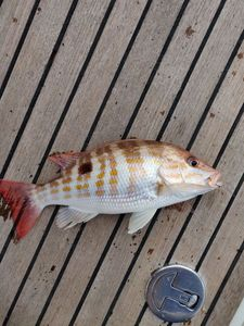 Black Spot Snapper — Guillaume Lainé