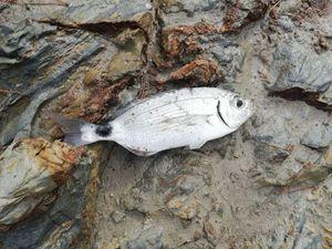 Saddled Seabream — Fish T