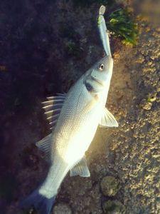 European Bass — Tanguy Tourgis