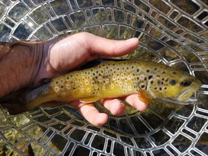 Brown Trout — Romain Brugeron