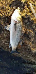 European Bass — Florent Bretin