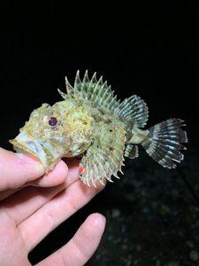 Brown Scorpionfish — Damien Lagoutte