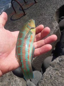 Ornate Wrasse — Mathias Larrieu