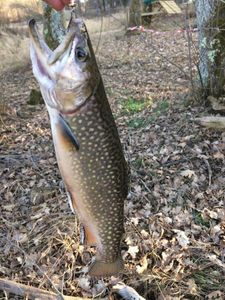 Brook Trout — Francois Giraud