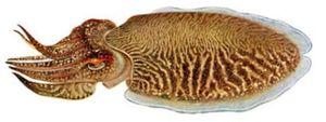 Common Cuttlefish — Dominique Ternisien