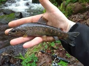Brown Trout — Nikos Raplapla