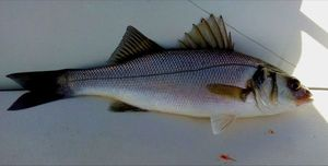 European Bass — les pêcheur du 11 (youtube)