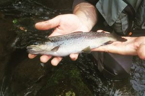 Brown Trout — Philippe Setsoua