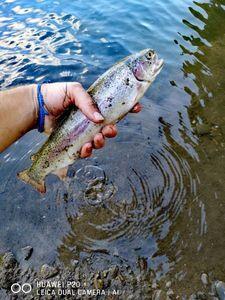 Rainbow Trout — Gael Viola