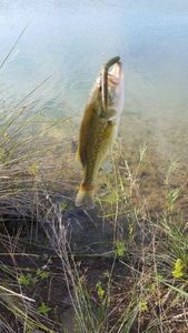 Largemouth Bass — Clement Lopez
