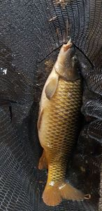 Common Carp — Anthony  StreetFishingDK