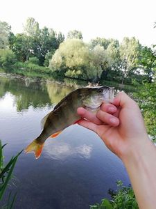 European Perch — Valentin FishingBuffs