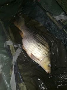 Common Carp — Jrm Hfr