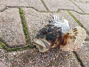 Brown Scorpionfish — Jordi Marti