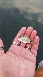 White Seabream — Scary Fishing