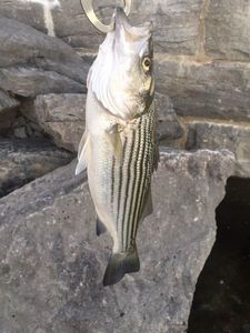 Striped Bass (Landlocked) — Cedric Heurtebise