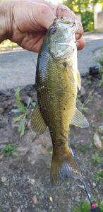 Largemouth Bass — Florent Bretin