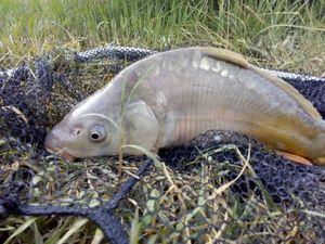 Mirror Carp — les pêcheur du 11 (youtube)