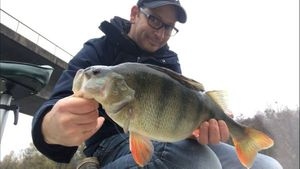 European Perch — Greg Teamtraillate