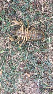Noble Crayfish — Hugo Delahay