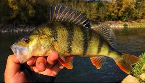 European Perch — Angler's Madness (Vincent _b)