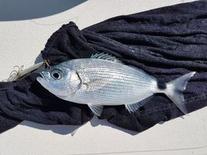 Saddled Seabream — Patrick Bouland