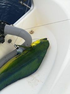 Dolphinfish — Lawrence Fauviaux