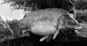Common Carp — Anthonin Coudiere