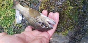 Brown Trout — fouilland  guillaume