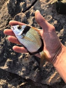 Common Two-banded Seabream — Bastien Routard