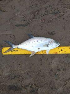 Talang Queenfish — Geoffrey Cenatiempo