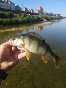 European Perch — Jean Boulain