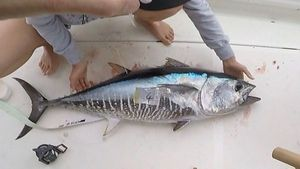 Bluefin Tuna — Nicolas Pellegrino