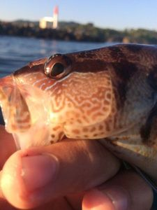 Painted Comber — Fishing Porquerolles