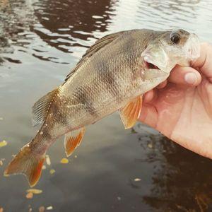 European Perch — Kwak Fishing