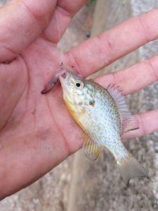Green Sunfish — Olivier fiching treize