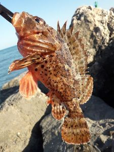 Red Scorpionfish — Germain Salou