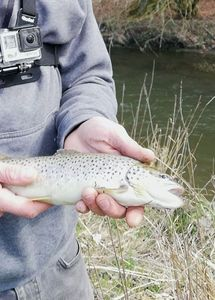 Brown Trout — Fish T