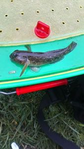 Giant Goby — Camille Ferveur
