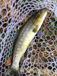 Brown Trout — Francois Giraud