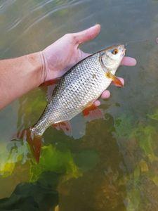 Roach — Alex.Fishing. 79