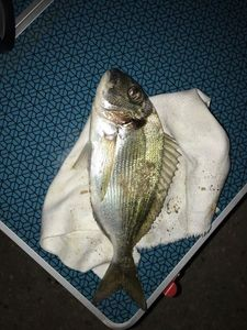 Gilthead Seabream — Paul Pierre