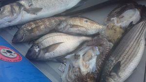 White Seabream — Raph CSMPêche