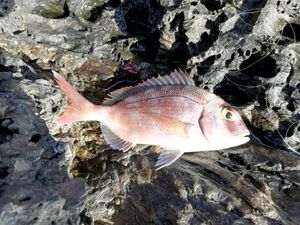 Red Porgy — Fish T