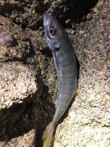Atlantic Horse Mackerel — Gauthier Coyette 🎣