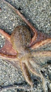 Common Octopus — Dume  Tomasi