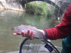 Rainbow Trout — Thomas Lazzari